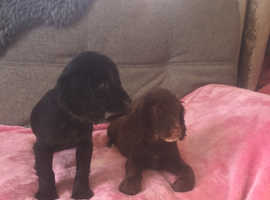 Two beautiful cocker spaniel puppies 10 weeks old