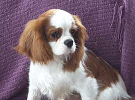 Adorable Cavalier king Charles Puppies.