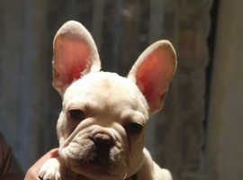 Platinum Top Quality French bulldogs