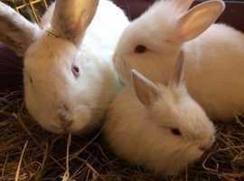 Female Newzeland white with bunnies