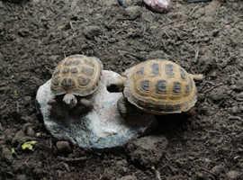 Horsefield tortoises