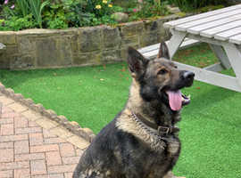 Czech Working Line German Shepard with Huge Potential