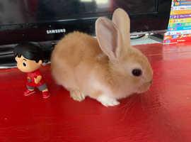 Baby mini lop / Mini Rex rabbits