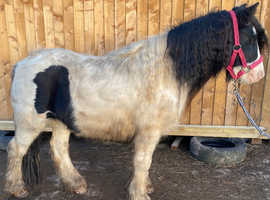 Mini cob yearling gelding