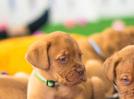 Beautiful chunky Dogue de Bordeaux puppies for sale - ready to leave now
