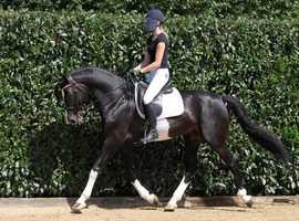 HUGO - Quality Sports Horse!