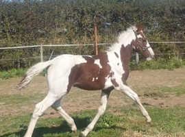 Beautiful warmblood x filly foal