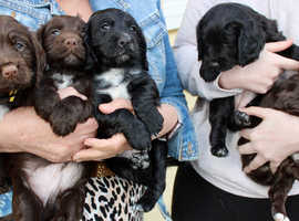 KC REGISTERED COCKER SPANIEL PUPPIES FOR SALE