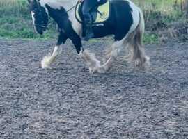 Sweet project pony 13.2hh Gelding 4yo Luca