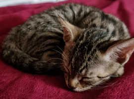 Beautiful Savannah x Bengal kittens