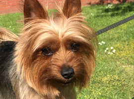 £150 Stud only, a little yorkie boy looking for a girl
