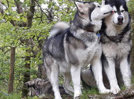 KC REG ALASKAN MALAMUTES FOR SALE only 4 left