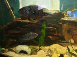 Mixed cichlid nice colours big size