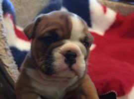 KC registered British bulldog bitch puppy