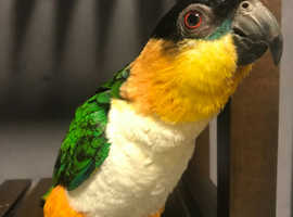 2 years old Caique for sale