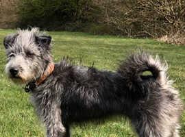 Patterdale X Wheaton puppies