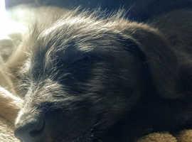 Handsome Lurcher puppy