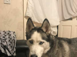 Husky wanting a forever home