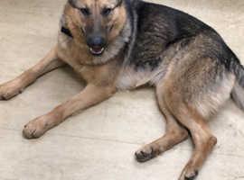 ** GP German Shepherd Protection Dog **