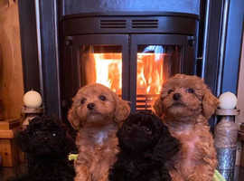Lhasapoo puppies