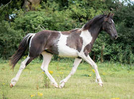 Exceptional yearling PRE (Andalusian) x Friesian & Warmblood (barock pinto)