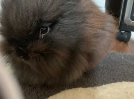 Pure Breed Lionhead 5 Babies two left