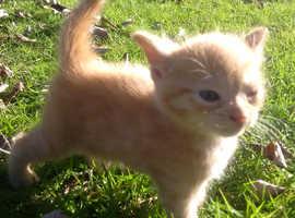 4 ginger kitten for sale