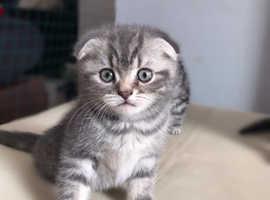 Pedigree Scotish fold kittens for sale
