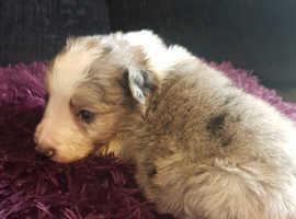 Beautiful collie pups