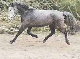 Connemara grey 3yr fillly