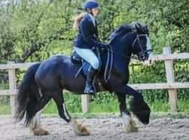 14.2hh cob mare for share