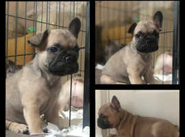 Frenchie pups male