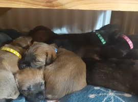 Westie cross Border Terrier pups