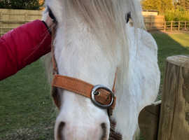HANDSOME 15 MONTH GENUINE COB GELDING BROWN & WHITE TO MAKE 13.2hh