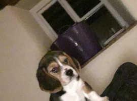 Beautiful beagle boy for sale