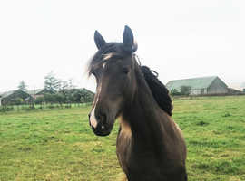 Welsh Section D Yearling Filly
