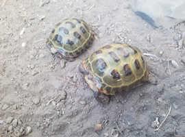 Pair of captive bred horsfield tortoises