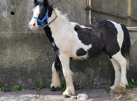 Stunning 11month old coloured gelding  for sale