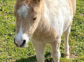 Fully registered Miniature  Shetland colt foals