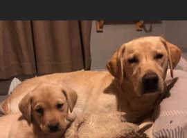 Outstanding litter of 11 yellow Labrador puppies