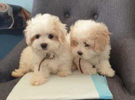 Lovely Bichon Maltese puppies