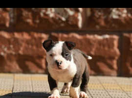 Male American bully pocket 6 months