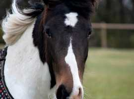 Pretty Welsh x Filly
