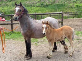 Open to offers Adorable mare with colt foal at foot