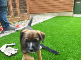 Border terrier Jack Russell pup for sale bitch pictures  of mam and dad
