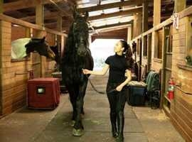 dazzling looks! 8 yrs old Year Old Friesian STER Gelding
