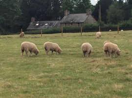 Dorset ewe lambs