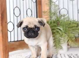 *****READY NOW*****4 outstanding KC registered Pug puppies!