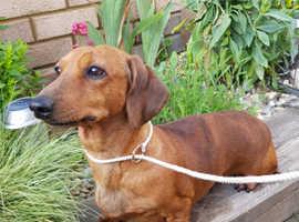 Miniature dachshund pra clear