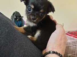 1 stunning tiny long haired girl chihuahua left
